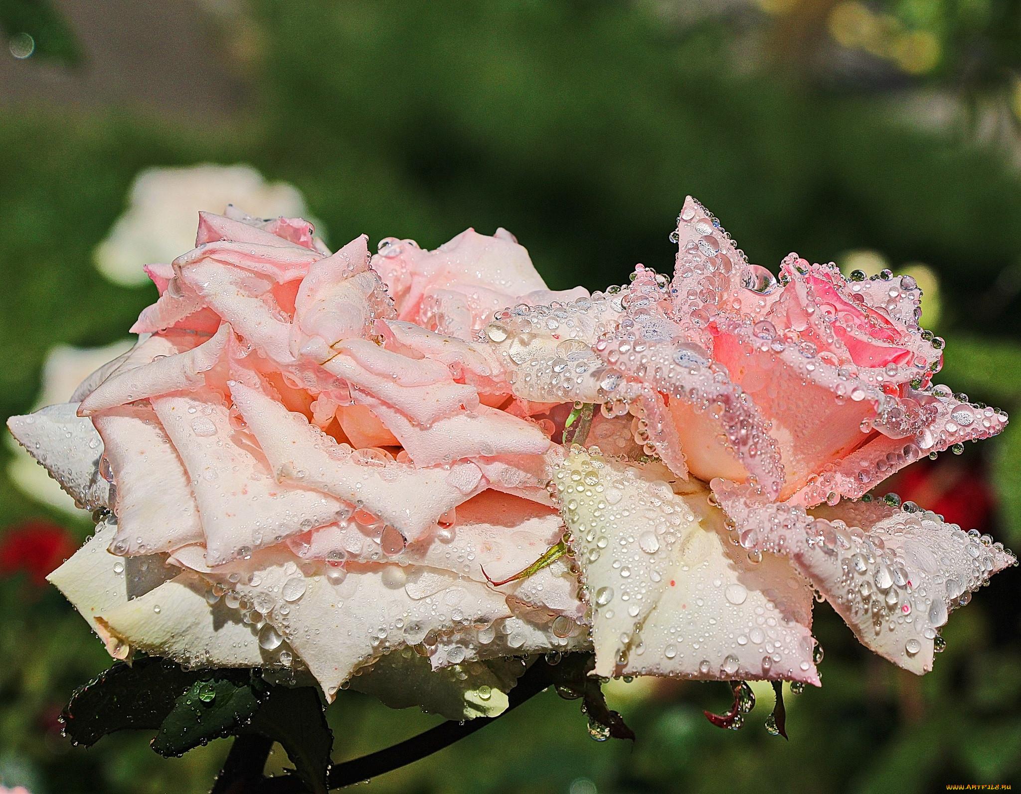 картина фото роза в росе краснодарским